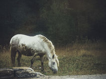 Caballo blanco Imagen de archivo