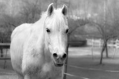 Caballo blanco blanco y negro Foto de archivo