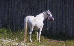 Caballo blanco cerca de la cerca de madera Imagen de archivo libre de regalías