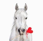 Caballo blanco con el corazón en la boca, tarjeta del día de San Valentín Fotos de archivo libres de regalías