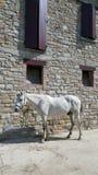 Caballo blanco contra una casa de la piedra del adoquín Fotografía de archivo
