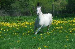 Caballo blanco corriente en amarillo   Fotos de archivo