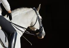 Caballo blanco del deporte con el jinete Imagenes de archivo