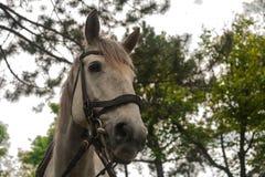 Caballo blanco El caballo gris blanco que pasta en la hierba verde en el bosque, caballo aprovechado en el arn?s de cuero, se cie imágenes de archivo libres de regalías