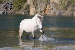 Caballo blanco en agua imagenes de archivo