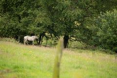 Caballo blanco en el bosque fotografía de archivo