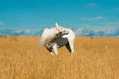 Caballo blanco en el campo Fotos de archivo libres de regalías