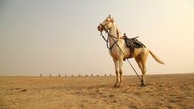 Caballo blanco en el desierto almacen de metraje de vídeo