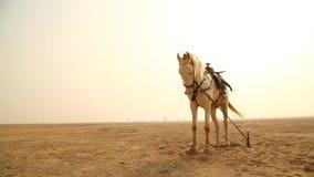 Caballo blanco en el desierto metrajes