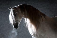 Caballo blanco en el fondo oscuro Fotografía de archivo libre de regalías