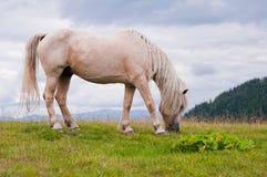 Caballo blanco en el pasto de la montaña Montañas cárpatas Ukrai fotografía de archivo libre de regalías