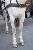 Caballo blanco en Florencia Fotografía de archivo