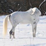 Caballo blanco en invierno Foto de archivo libre de regalías