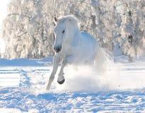 Caballo blanco en invierno Imagen de archivo libre de regalías