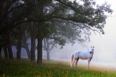Caballo blanco en la niebla Imágenes de archivo libres de regalías