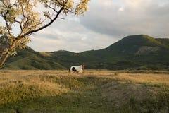 Caballo blanco en la puesta del sol Imagenes de archivo