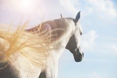 Caballo blanco en luz del sol foto de archivo libre de regalías