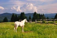 Caballo blanco en montaña Foto de archivo libre de regalías