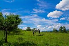 Caballo blanco en pasto Fotografía de archivo libre de regalías
