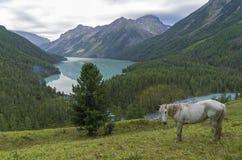 Caballo blanco en una ladera Lago Kucherla Montañas de Altai, Russi Fotos de archivo libres de regalías