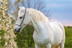 Caballo blanco hermoso Imagen de archivo libre de regalías
