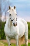 Caballo blanco hermoso Foto de archivo libre de regalías