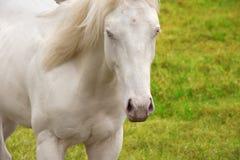 Caballo blanco hermoso con el pulso de ojos azules Fotografía de archivo