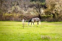 Caballo blanco hermoso con la melena rubia larga en campo de la primavera fotografía de archivo