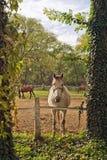 Caballo blanco hermoso en el rancho de la granja Fotos de archivo
