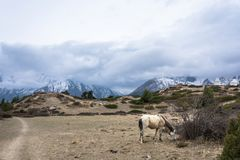 Caballo blanco, pastando arriba en las montañas, Nepal Fotos de archivo
