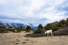 Caballo blanco, pastando arriba en las montañas, Nepal Fotos de archivo libres de regalías