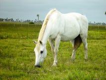 Caballo blanco que come la hierba Fotografía de archivo libre de regalías