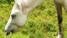 Caballo blanco que come la hierba almacen de metraje de vídeo
