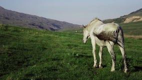 Caballo blanco que come la hierba en prado hermoso de la montaña Zhaylau de Kazajistán almacen de video