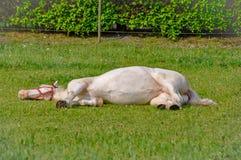 Caballo blanco que duerme en una hierba en verano fotografía de archivo