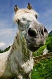 Caballo blanco que hace una cara divertida Fotos de archivo libres de regalías