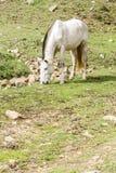 Caballo blanco que pasta en el campo Fotografía de archivo libre de regalías
