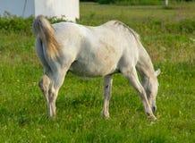 Caballo blanco que pasta en prado verde Imagen de archivo libre de regalías
