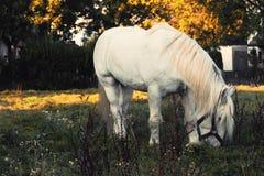 Caballo blanco que pasta en un pasto en el sol de la tarde foto de archivo