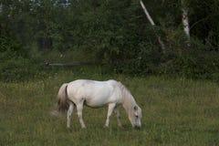 Caballo blanco que pasta en un prado Imagenes de archivo