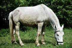 Caballo blanco que pasta en un prado verde en un d?a de verano imagenes de archivo