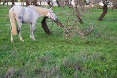Caballo blanco que rasguña su cabeza en un árbol Imagen de archivo