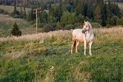 Caballo blanco que se coloca en campo verde Foto de archivo