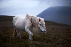 Caballo blanco salvaje, en una montaña galés cerca del lago Llangorse Fotos de archivo libres de regalías