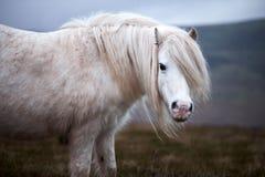 Caballo blanco salvaje, en una montaña galés cerca del lago Llangorse Imágenes de archivo libres de regalías