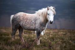 Caballo blanco salvaje, en una montaña galés cerca del lago Llangorse Foto de archivo libre de regalías