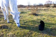 Caballo blanco y gato negro en pasto Fotos de archivo libres de regalías