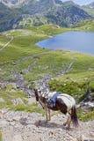 Caballo blanco y marrón que va abajo de la montaña Foto de archivo
