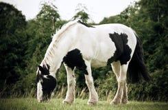 Caballo blanco y negro Fotografía de archivo