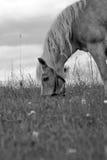 Caballo blanco y negro imagen de archivo